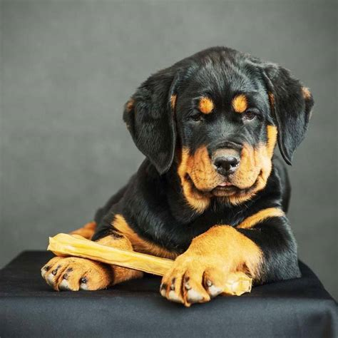 rottweiler names rottweiler names and meanings breeds picture
