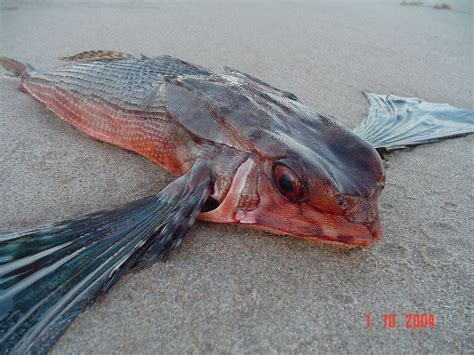 pesce volante dactylopterus volitans forum natura mediterraneo forum