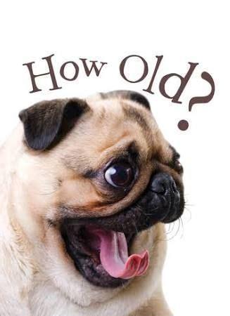 pug birthday wishes best 25 happy birthday pug ideas on pug birthday meme happy birthday