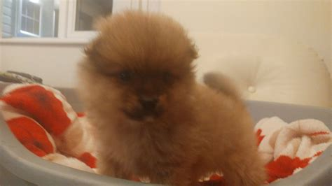 teddy pomeranian for sale uk pomeranian teddy puppy for sale doncaster south pets4homes