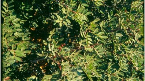 fiori della macchia mediterranea piante della macchia mediterranea eniscuola
