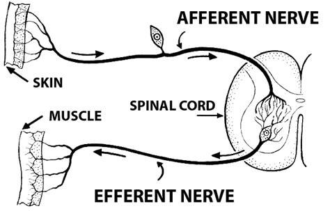 motor efferent afferent nerve fiber