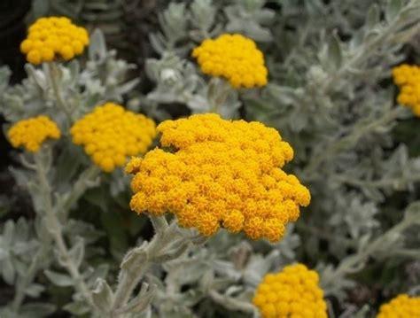 elicriso coltivazione in vaso elicriso lucido fior di carta helichrysum bracteatum