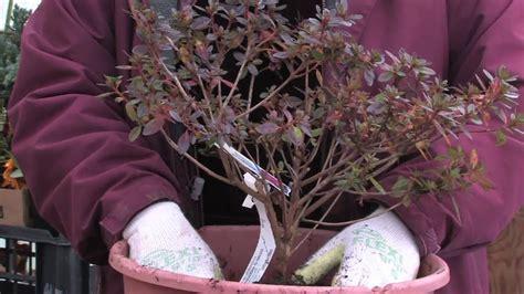 gardening tips   plant azaleas youtube