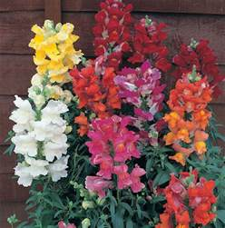 stepford sisters snapdragons self sowing annual 3