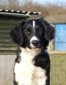 Spaniel mix 53 the dog wallpaper best the dog wallpaper gallery