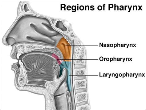 three sections of the pharynx the human voice voice in context