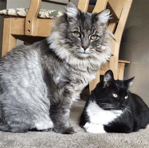 Katzenklo Maine Coon by 15 Sized Maine Coons That Will Make Your Cat Look