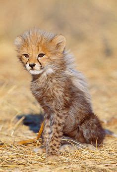 baby cheetah cub to become part of busch gardens cheetah baby cheetah cubs in the wild www pixshark com images