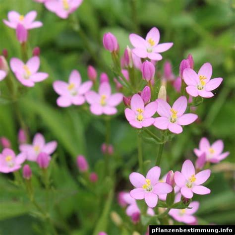 Bella Donna Flower - centaurium erythraea