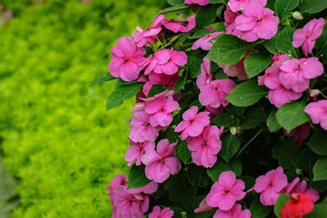 impatiens fiore di bach fiore di bach impatiens per chi 232 troppo esigente