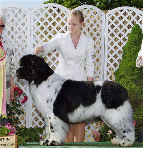 rottweiler club of alaska working club of alaska sunday june 2 2013 canine chronicle