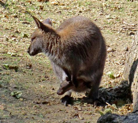 Zoologischer Garten In Köln by Www Zoo Wuppertal Net Bennettsk 228 Nguru Jungtier