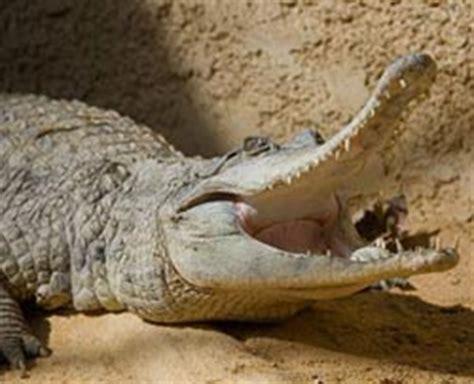 hocico de cocodrilo en cartulina cocodrilos wiki acam