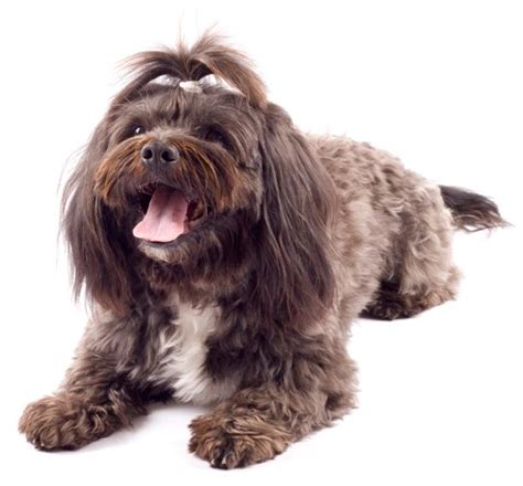 top 10 non shedding breeds