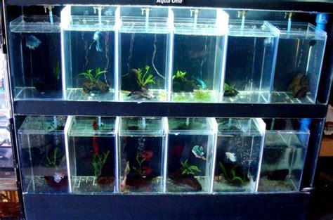 Rak Ikan Cupang betta fish tanks bentuk akuarium ikan cupang indah