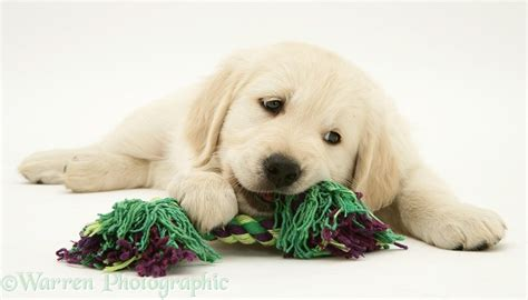golden retriever chewing golden retriever pup chewing a ragger photo wp12630