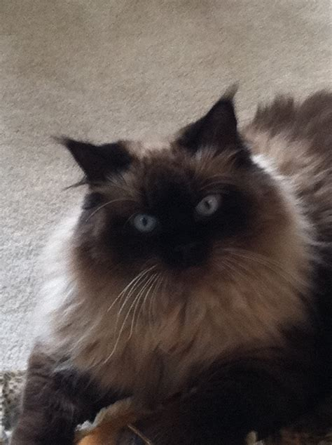 Himalayan Seal Point My Seal Point Himalayan Cat My Cat Is A