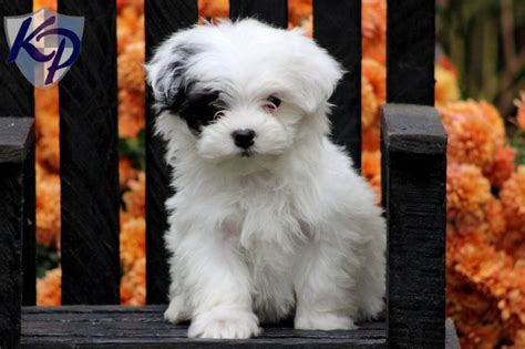 maltipoo puppies for sale 445 best maltipoo images on puppies fluffy pets and dogs
