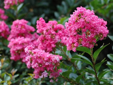 12 great patio trees hgtv - Summer Flowering Shrubs Sun
