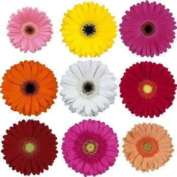 what color are daisies mini gerbera assorted daisies