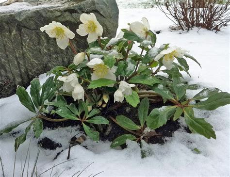 Plants That Require Little Sun by Black Gold Hellebores For Late Winter Color Black Gold