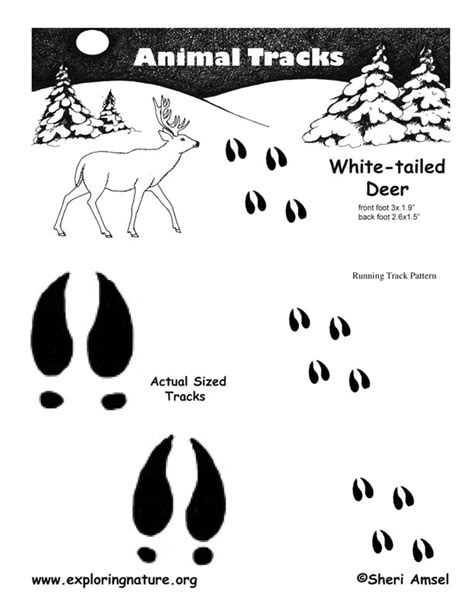 how to your to track deer deer whitetail tracks