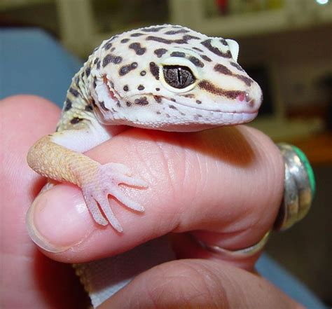 Leopard Gecko 2 355 best images about leopard geckos on the