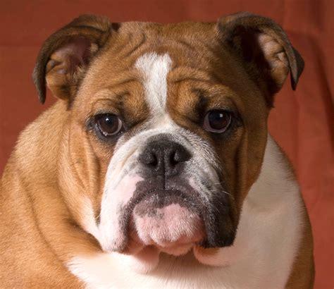 English Bulldog   Bondi Vet   TV Series Official Site