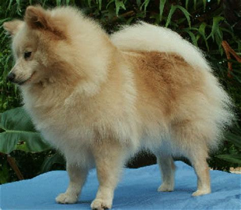medium sized pomeranian pomeranian and other shpitz standarts pomeranian spitzs kennel