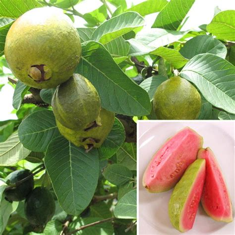 tropical fruit trees houston guava ruby supreme psidium guajava