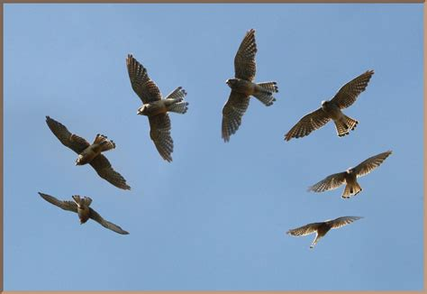 Mad Kestrel image of the day by subject