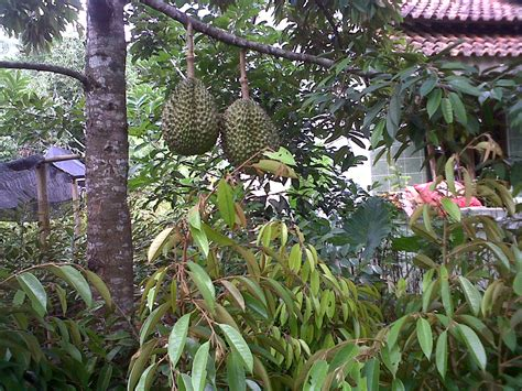 Jual Bibit Durian Petruk jual bibit durian bawor bibit durian jual bibit durian
