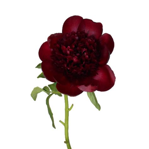 Peony Arrangement Burgundy Red Charm Peonies Flower December Delivery