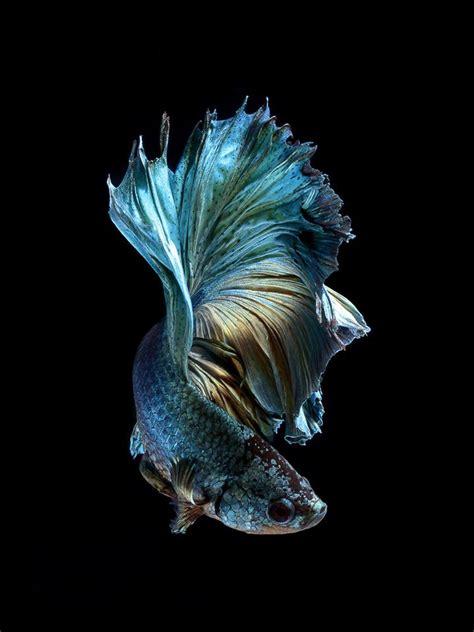 siamese fighting fish portraits  apple iphone