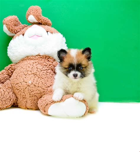 teacup pomsky puppies for sale teacup steven is our pomsky puppy for sale