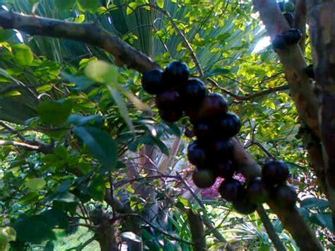 Harga Bibit Kelengkeng Unggulan dinomarket 174 pasardino jual bibit buah import unggulan