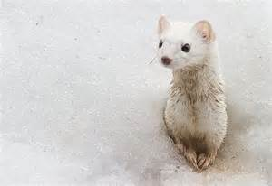 ermine color 5 arctic animals that turn white for winter