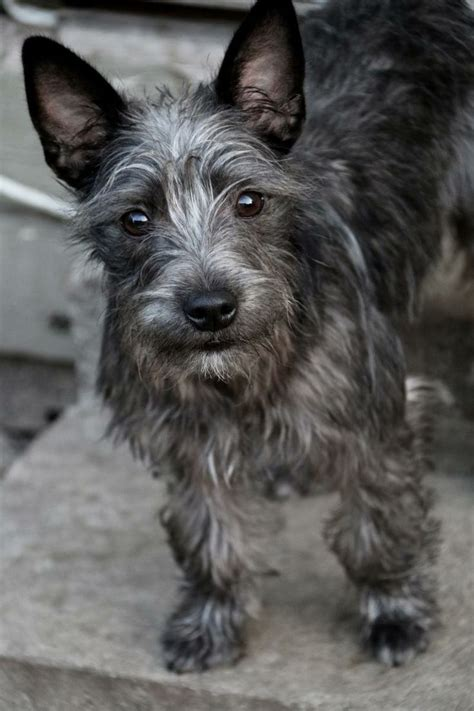 schnauzer mix puppies cairn terrier miniature schnauzer mix breeds picture