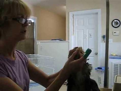 brushing yorkies teeth brushing yorkies teeth