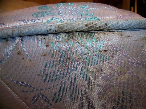 signs of bed bugs on mattress bed bugs extermination and removal in dallas fort worth alamo pest