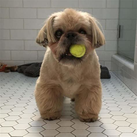 when does a shih tzu puppy become a beyond the puppy cut shih tzu hair styles iheartdogs