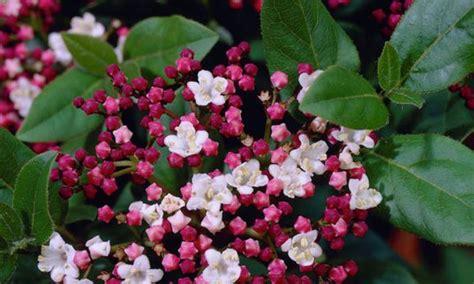 hardy flowering evergreen shrubs six hardy evergreen shrubs groupon goods