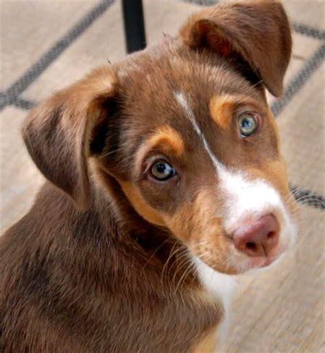beagle shepherd mix puppy beagle australian shepherd mix photo happy heaven
