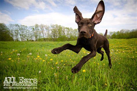 german shorthaired pointer puppies wisconsin german shorthair puppies wisconsin breeds picture