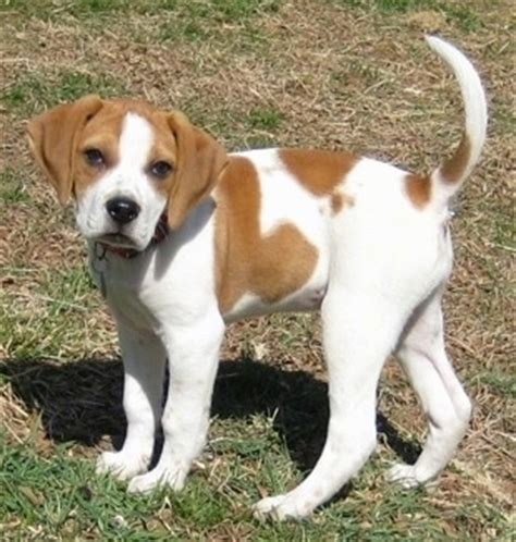 beagle boxer mix puppy mixed breed pictures with bios 39