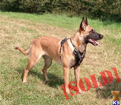 belgian malinois puppies for sale near me belgian malinois puppies for sale ready to go breeds picture