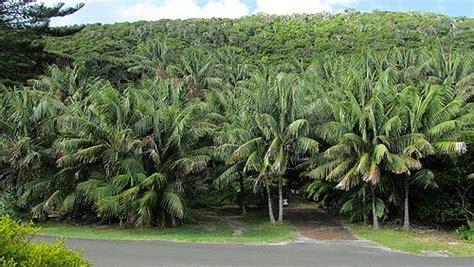 howe fosteriana howea forsteriana palmpedia palm grower s guide