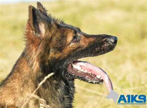family protection for sale trained family protection for sale zara a1k9 family protection trainers