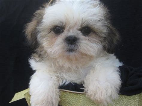 facts about shih tzu gallery puppy pictures